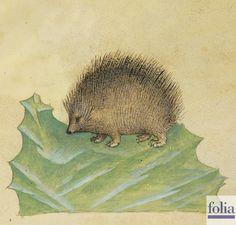 """""""Si dice che se si unge il legno o altro materiale con il grasso di riccio, le pulci migrano ad altro legno dove nel medesimo tempo si aggregano"""". http://www.foliamagazine.it/wp-content/uploads/2013/03/Riccio1.jpg"""