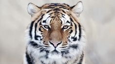siberian-tiger-face-wallpaper-4.jpg (1920×1080)