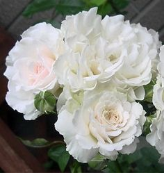 Great North Eastern Rose (Hareasy)
