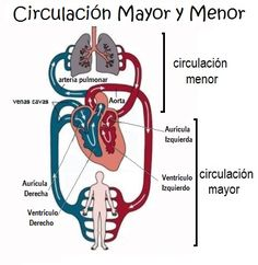 La Circulación Mayor y Menor para niños de primaria Medical Mnemonics, Pharmacology Nursing, Arte Com Grey's Anatomy, Heart Structure, Medicine Notes, Nursing School Notes, Medical Anatomy, Human Anatomy And Physiology, Nursing Assistant