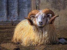 Icelandic sheep by marketa.kalvachova, via Flickr