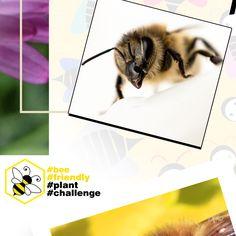👉Czy znacie i lubicie internetowe challenge?😲 Kojarzycie akcje, jak Movember czy ALS Ice Bucket Challenge, które angażowały miliony i budowały świadomość problemów zdrowotnych czy społecznych? Teraz mamy dla Was propozycję zaangażowania się w pomoc ginącym pszczołom.🐝 W skrócie chodzi o to, aby w swoim ogrodzie, na tarasie lub balkonie zasadzić roślinę przyjazną pszczołom, zrobić zdjęcie albo film i opublikować go w swoich mediach społecznościowych z hashtagami #bee #friendly #plant.. Bee, Polaroid Film, Challenges, Plants, Movie Posters, Honey Bees, Film Poster, Bees, Plant