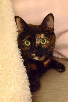This looks like my cat Domino who was one of the best cats ever! Miss her still ~ Blue - #mimsy #tortie #cat