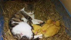 Katten som adopterat ankungar. Obs den lilla kissen som sover vid bakdelen. ♡