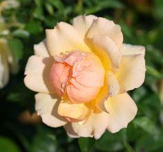Maya-Honey Lampwork: Yellow roses