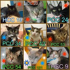 These cats, both males (blue stars) & females (red stars), ranging in age from 1 to 20 years (the oldest being the Burmese, PCC 121 [stripey star] who is also desexed), need a rescue or adoption ASAP. The white stars are seniors. If you are a rescue or know a rescue that can help, please contact Hawkesbury Pound, NSW on (02) 4560 4644 (if no answer, leave a message) or email companionanimal@hawkesbury.nsw.gov.au
