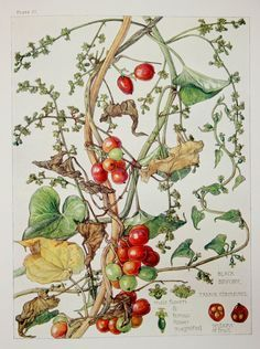 1910 Botanical Print by H. Isabel Adams Yam by PaperPopinjay, $15.00