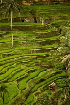 Rice terraces in BaliIndonesia.... #Relax more with healing sounds: