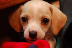 Cheagle Puppy Chihuahuabeagle Mix Sooo Cute This Is The Type Of