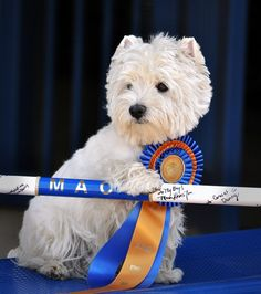 Wilson Wood, Agility Champion ~ The West Highland Terrier Club of SE Texas