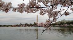 Цвітіння сакури у Вашингтоні, округ Колумбія (Cherry Blossom in Washington, D.C.)