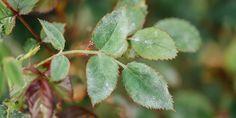 Αντιμετώπιση του ωιδίου της τριανταφυλλιάς Plant Leaves, Home And Garden, Plants, Facebook, House, Haus, Plant, Home, Planting