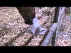 Big Brown Horse Sees A Tiny White Cat In His Stable. Now Watch What He Does With His Mouth...