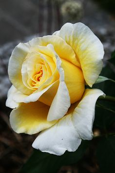 Double Colored White and  Yellow - vma.