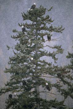 1300988.  Bald Eagle (Haliaeetus leucocephalus) group roosting in evergreen, Glacier National Park, Montana