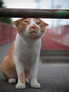Ahahaha, cinese cat