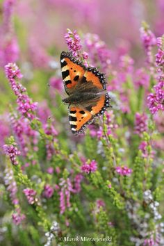 Small tortoiseshell butterfly feeding on heather Butterfly Photos, Butterfly Flowers, Beautiful Butterflies, Beautiful Flowers, Champs, Bee Hummingbird, Camera Shots, Creepers, Tortoise Shell