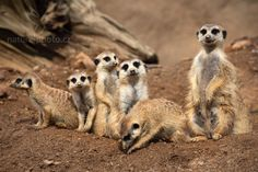 Meercats - the most social animals