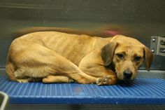 Female Lab mix, 37 pounds, owner surrendered on 12-3-13, killed on 12-5-13.  Photo via Memphis Pets Alive.