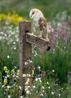 Barn Owl in Meadow. ♥