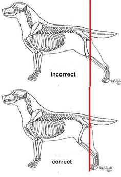 Stacking your dog correctly in the ring or on a grooming table: The toes of the back leg should be lined up so it's a straight line from the point of rump. Dog Training Bells, Best Dog Training, Dog Anatomy, Animal Anatomy, Puppy Quotes, Diamond Dogs, Purebred Dogs, Best Dog Food, Snow Dogs