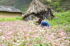Buckwheat Flower in Ha Giang