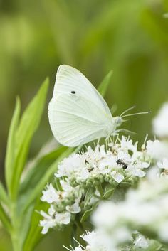 This picture shows a cabbage white butterfly. Butterfly Kisses, White Butterfly, White Flowers, Cabbage Butterfly, Madame Butterfly, Beautiful Butterflies, Beautiful Flowers, Tier Fotos, Spring Green