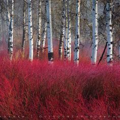 Red sea amongst Birches