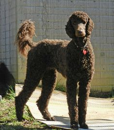 """~ Winter 2014 ~ Sophie, Joy, Truffle and Dream Browns have a reputation of being the """"clowns"""" of the Standard Poodle. But we have found ALL poodles love to """"entertain"""" their owners. Psychiatric Service Dog, Poodle Haircut, Poodle Cuts, Red Poodles, Pet Dogs, Pets, Doggies, Popular Dog Breeds, Dog Show"""