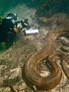 Anaconda under water. I find this picture fascinating but I can totally see having a nightmare like this.
