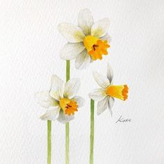 three daffodils, easy pictures to draw, watercolor painting, white background