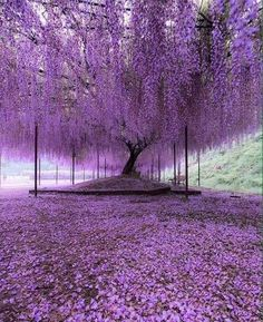 A 200 year old Wisteria tree in Japan.These stunning photographs, which look like a glorious late evening sky with dashes of pink and purple, are actually pictures of Japan's largest wisteria (or wistaria, depending on whom you ask) plant. Beautiful Nature Wallpaper, Beautiful Landscapes, Beautiful Gardens, Beautiful Flowers, Nature Pictures, Beautiful Pictures, Flower Pictures, Wisteria Tree, Wisteria Japan