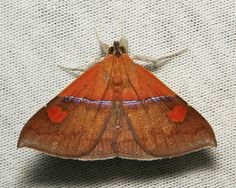 Noctuoid Moth from China