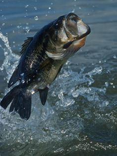 Freshwater fishing can be a great experience. Find out more about freshwater fishing including useful tips and how to stay safe when you are on the water. Bass Fishing Tips, Gone Fishing, Best Fishing, Trout Fishing, Fishing Lures, Fishing Stuff, Fishing Knots, Fishing Hole, Fishing Basics