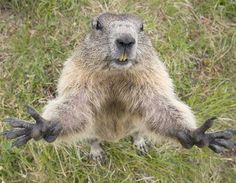 La marmota alpina que quiere un abrazo (© Edwin Giesbers/NPL/Rex Features)