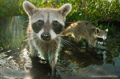Cozumel (Pygmy) Raccoon: Critically Endangered – photo by Kevin Schafer – @schaferpho @natgeo // One of the most endangered carnivores on the planet is one you've probably never heard of - the Cozumel Raccoon. The face may be familiar, of course, since raccoons are common throughout North America, in places becoming urban pests. This animal, however, is quite distinct: smaller in stature, and with a reddish tail. Found only on an island better known for its beach resorts and poolside bars…