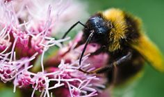Public urged to use smartphone app to aid bee scientists  Smartphone users can collect data about pollinating insects in their gardens, which will be used to build a national picture