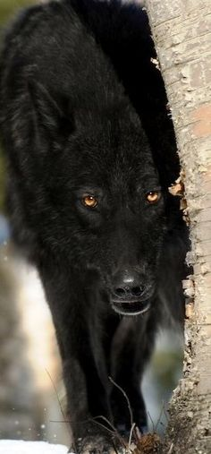 The Wolf half Twin of my beloved Angel Chief. Beautiful, huge, strong, and My Dog, first, last, and always. Yes. He was a Wolf/Malemute Hybrid. He could look straight through you with them.