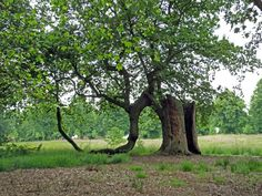 #Old deformed #ancient English# Oak by the East #Garden in Hatfield House #Hertfordshire