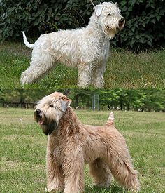 Soft-coated Wheaten Terrier picture
