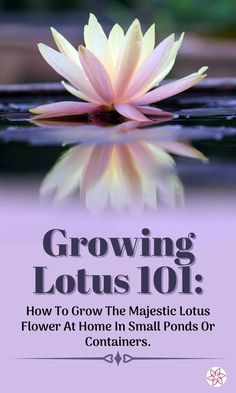 Beautiful, tropical looking, it's actually easy to grow a lotus plant. Cold hardy to zone 5, you can grow and leave a lotus outdoors in Chicago! How To Grow Lotus Lotus flower colors include white, red, pink, yellow, lavender and blue. Blooming from early to late summer, they are one of the most majestic aquatic Water Garden Plants, Container Water Gardens, Pond Plants, Container Plants, Lotus Flower Colors, Colorful Flowers, Lotus Plant, Pond Water Features, Zone 5