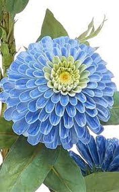Organic Seeds, Organic Plants, Pretty Flowers, Blue Flowers, Exotic Flowers, Summer Flowers, Amazing Flowers, Colorful Flowers, Gerbera