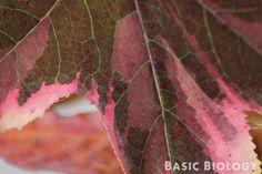 Net-like pattern of eudicot leaves - http://www.basicbiology.net/plants/angiosperms/eudicots/