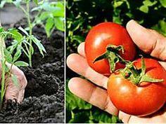 10 Secrets De Jardinier Pour Faire Pousser de Belles Et Grosses Tomates Facilement.