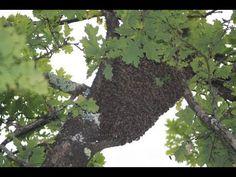 [Tuto] Attraper rapidement un essaim d'abeilles