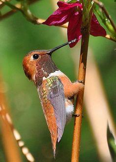 A male Rufous hummingbird - 'Glimpse' by Carl Olsen Beautiful Butterflies, Beautiful Birds, Animals Beautiful, Cute Animals, All Birds, Little Birds, Love Birds, Hummingbird Nests, Hummingbird Tattoo