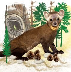 Pine Martens, like Animal Ambassador Timber, are curious and excitable creatures.