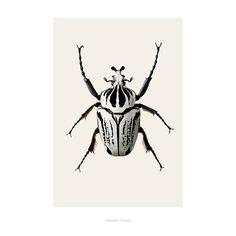 Poster B8 Goliathus orientalis -Goliathkever (42x59)