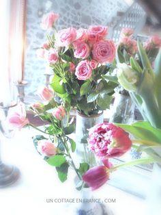 Les tulipes roses de janvier au cottage  shabby chic