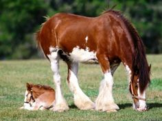 Clydesdale Mare and her Colt or Filly.